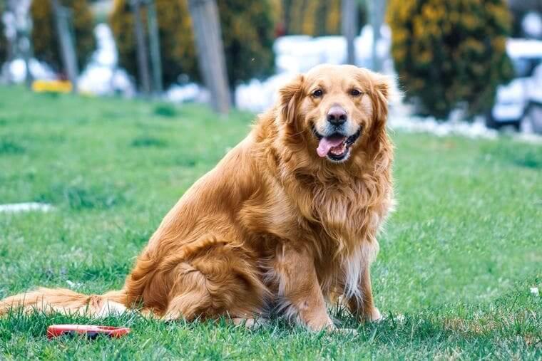 dog-fat