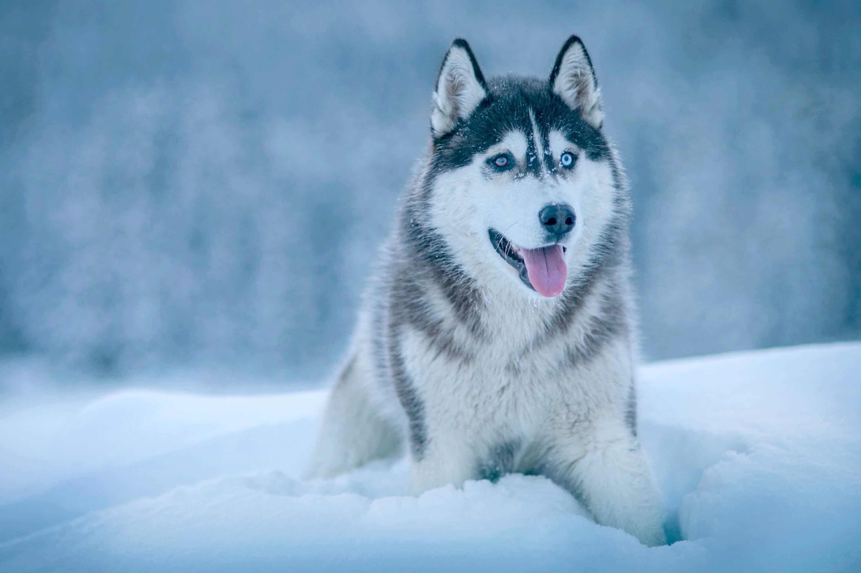 雪の中にいるシベリアンハスキー